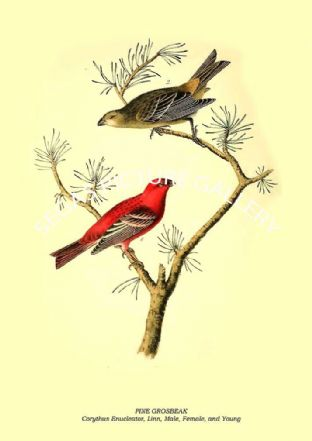 PINE GROSBEAK - Corythus Enucleator, Linn, Male, Female, and Young